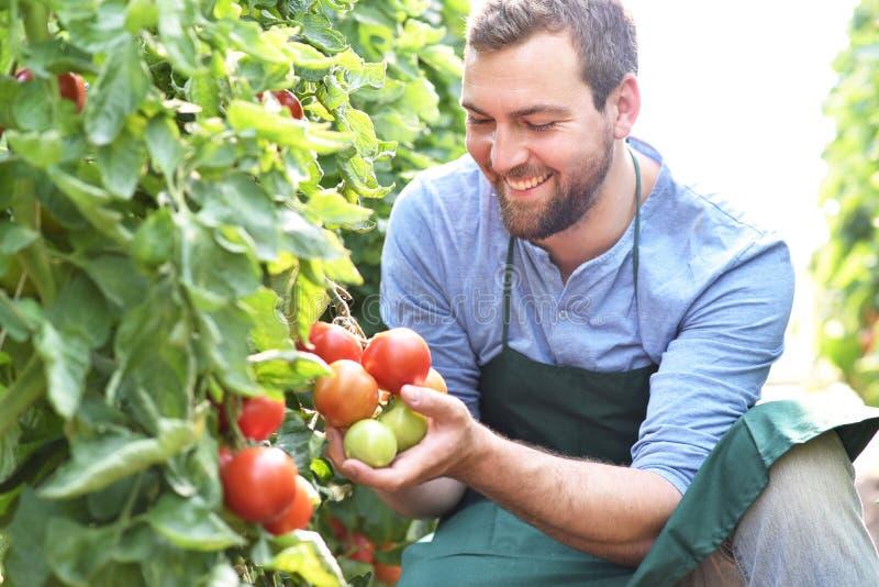 Växande tomater för lycklig bonde i ett växthus royaltyfria bilder