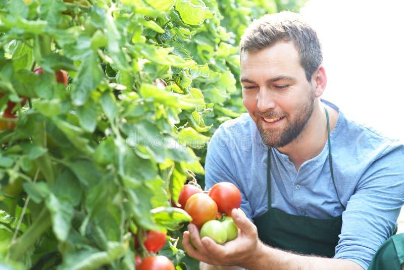 Växande tomater för lycklig bonde i ett växthus royaltyfri fotografi