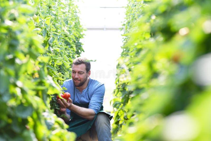 Växande tomater för lycklig bonde i ett växthus royaltyfri bild