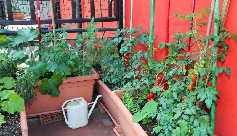 Växande tomater och zucchini i krukor på terrassen av aparen arkivfoton