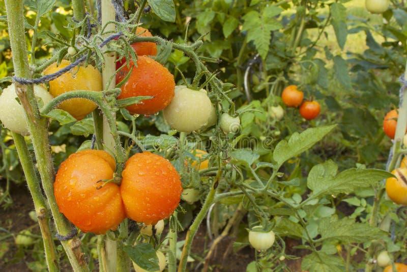 Växande tomater på en hemhjälpträdgård Våta tomater i morgonsolen Över natten regn Mognande grönsaker i en hemträdgård royaltyfri foto