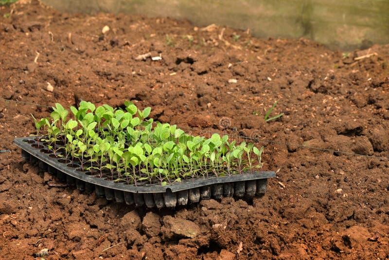 Växande ung grönkål i grönsaktäppan, organisk grönsak i lantgård arkivfoton