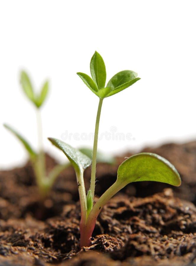 växande växtfrö arkivfoto