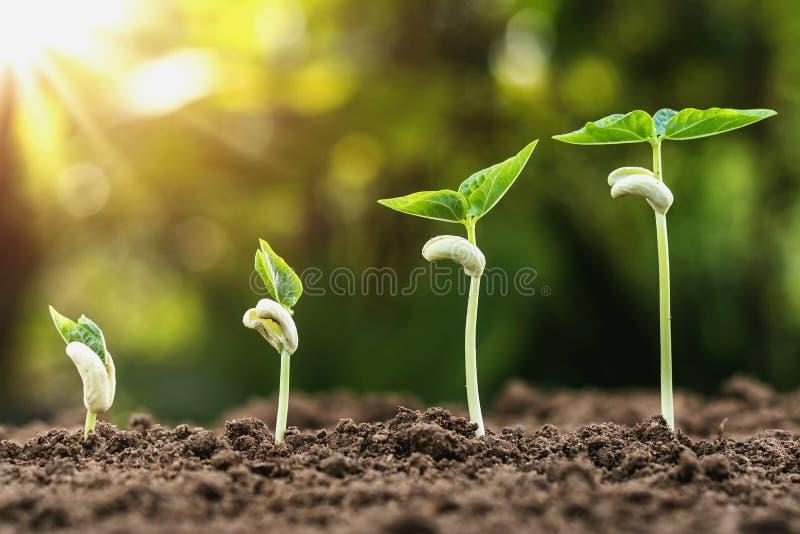 växande växtmoment med soluppgång Begreppsjordbruk arkivfoto