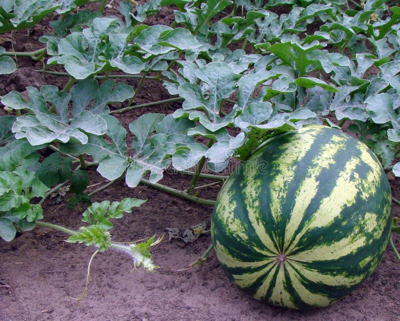 växande vattenmelon för fält arkivfoton