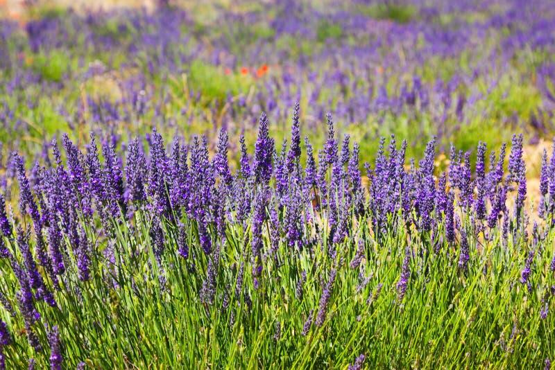 Växt av blå lavendel arkivfoto