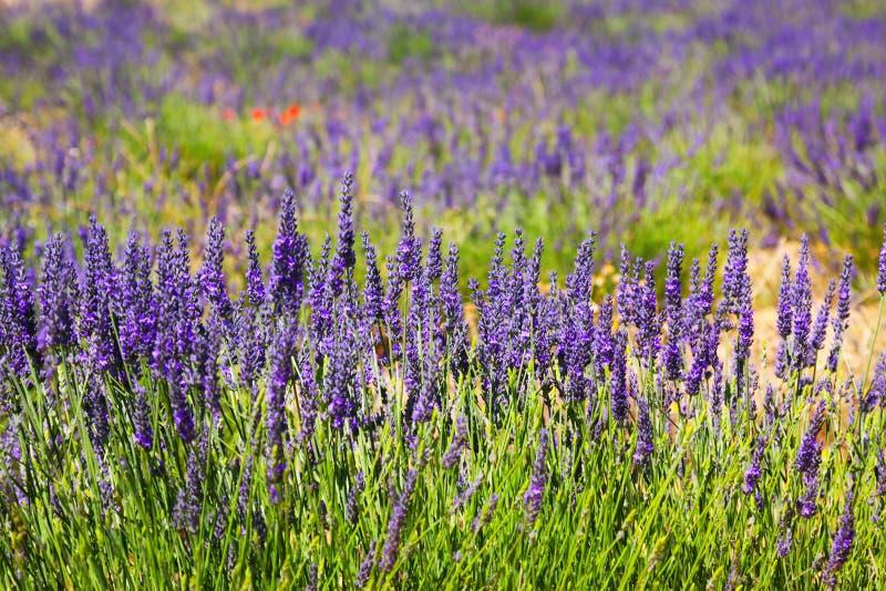 Växt av blå lavendel på fältet royaltyfria bilder