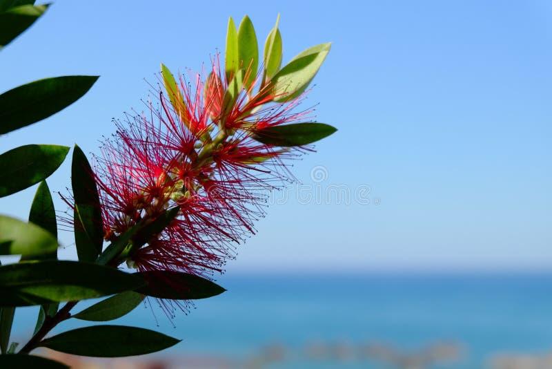 Växt av Callistemon med röda bottlebrushblommor royaltyfri foto