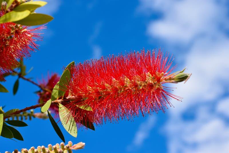 Växt av Callistemon med röda bottlebrushblommor och blommaknoppar mot intensiv blå himmel på en ljus solig vårdag royaltyfri bild