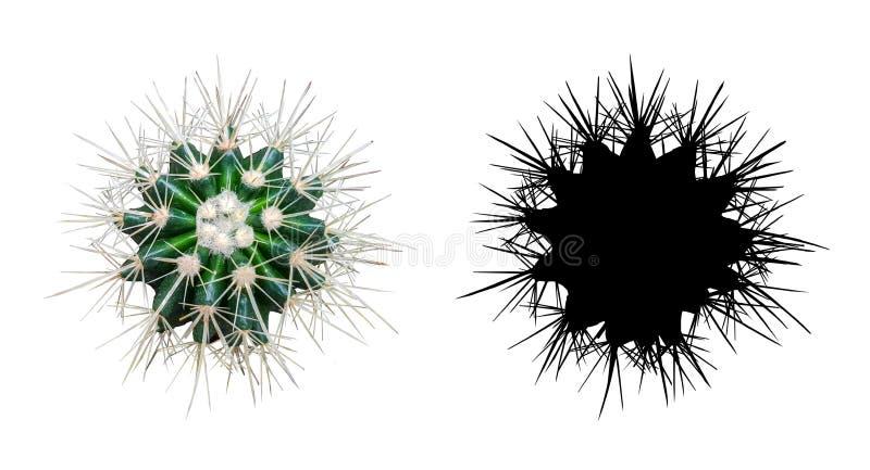 Växt av den kaktusEchinocactus grusoniien på vit bakgrund arkivfoto