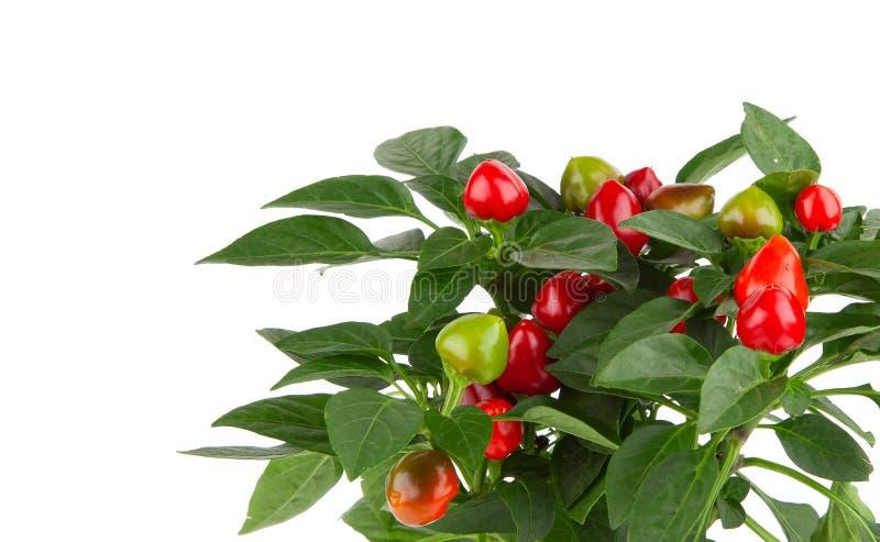 Växt av glödhet chilipeppar royaltyfri fotografi
