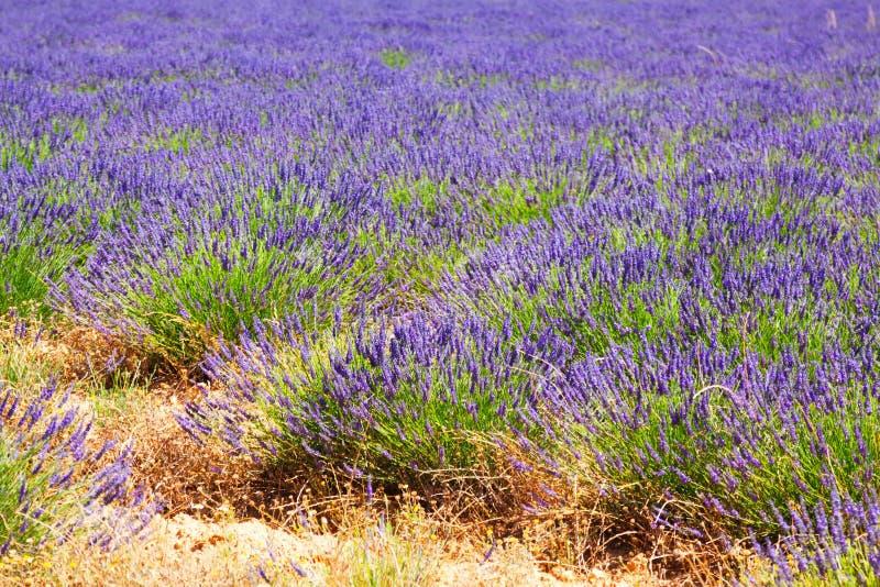 Växt av lavendel royaltyfri fotografi
