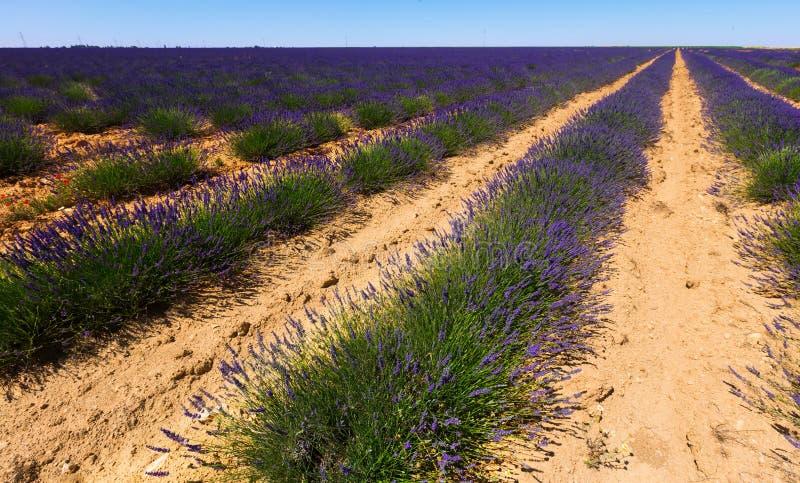 Växt av lavendel arkivfoton
