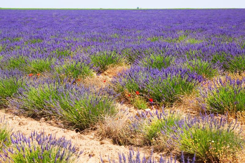 Växt av lavendel fotografering för bildbyråer