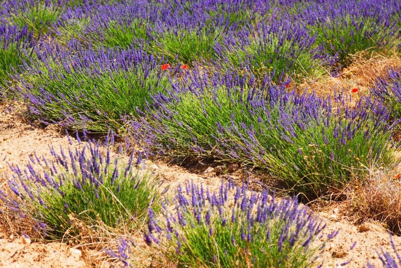 Växt av lavendel på fält I arkivbilder