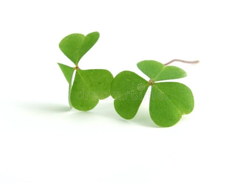 växt av släkten Trifolium royaltyfri fotografi