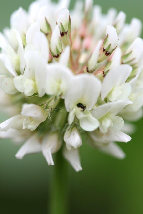 växt av släkten Trifolium arkivbild