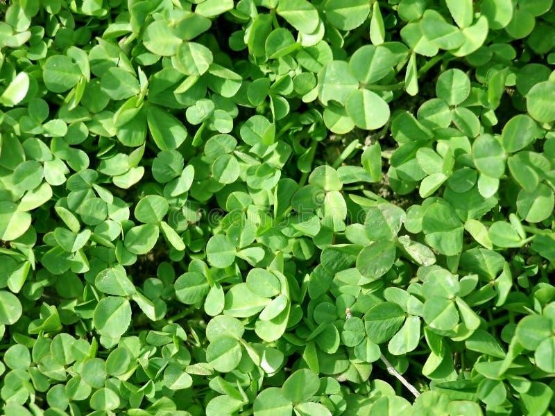 Växt Av Släkten Trifolium Gratis Foton