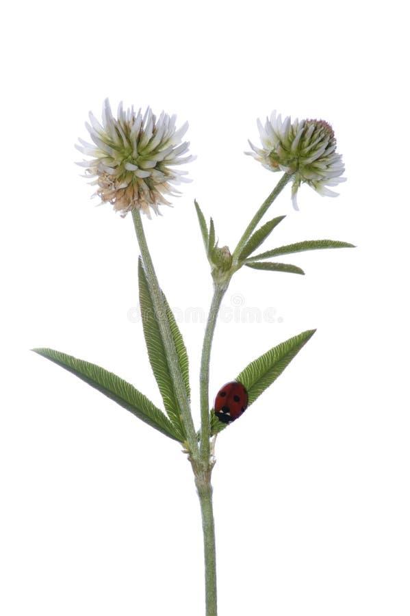 växt av släkten Trifoliumblommor arkivbild