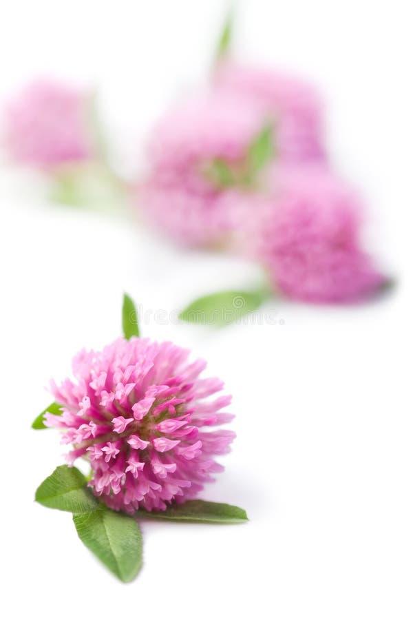 växt av släkten Trifoliumblommor isolerade pink royaltyfria bilder