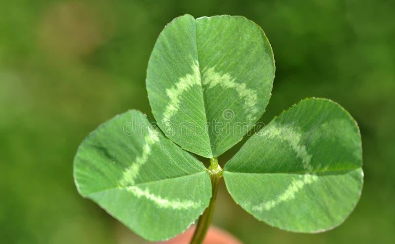 växt av släkten Trifoliumleaf arkivfoto