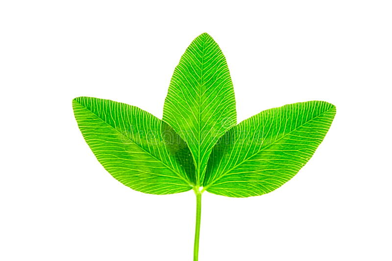 växt av släkten Trifoliumleave royaltyfri fotografi