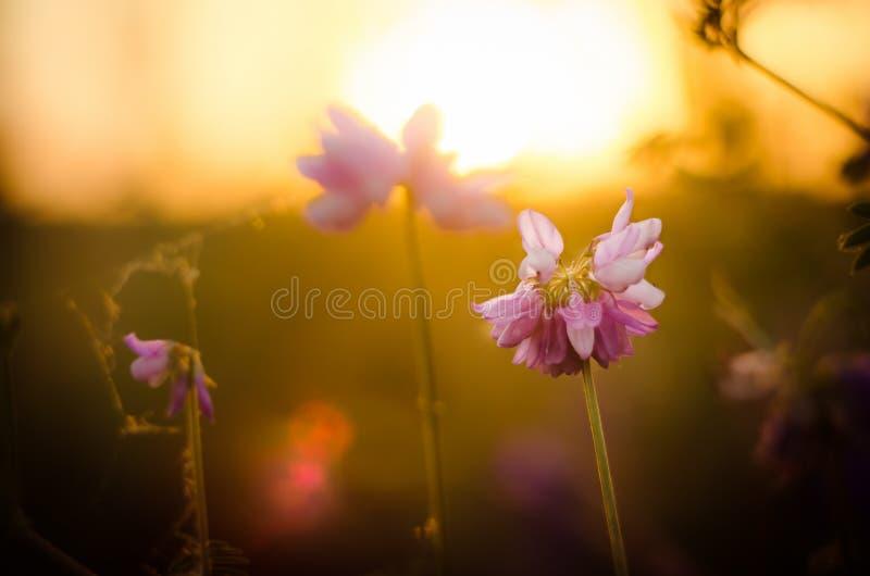 växt av släkten Trifoliumsolnedgång royaltyfria foton
