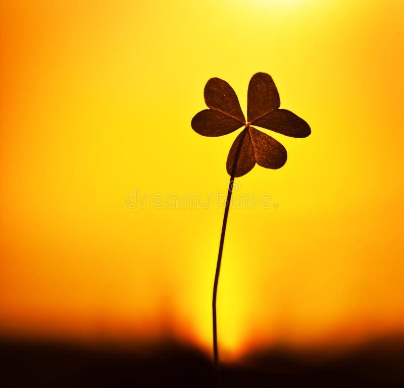 växt av släkten Trifoliumsolnedgång royaltyfri fotografi
