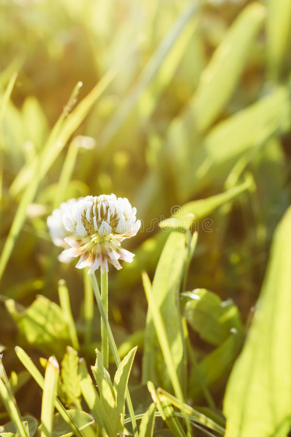 växt av släkten Trifoliumwhite royaltyfri bild