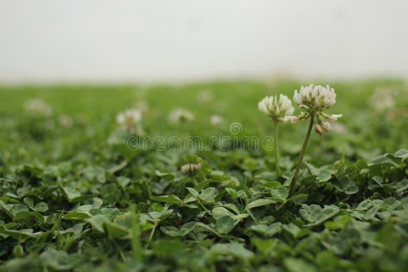 Växt av släktet Trifolium arkivbild