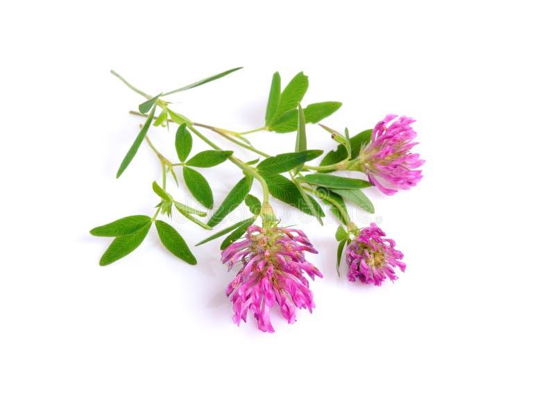 Växt av släktet Trifolium eller trefoil är gemensamma namn för växter av släktet Trifo royaltyfri foto