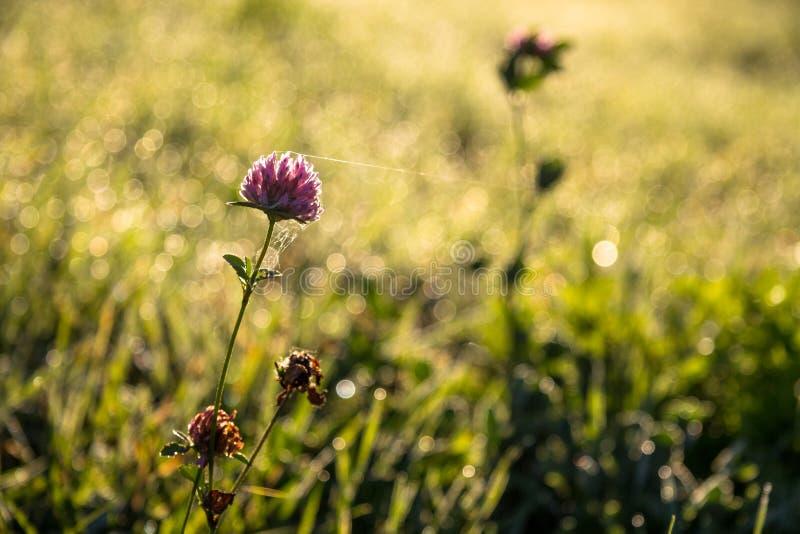 Växt av släktet Trifoliumblomma i morgonljuset arkivbild