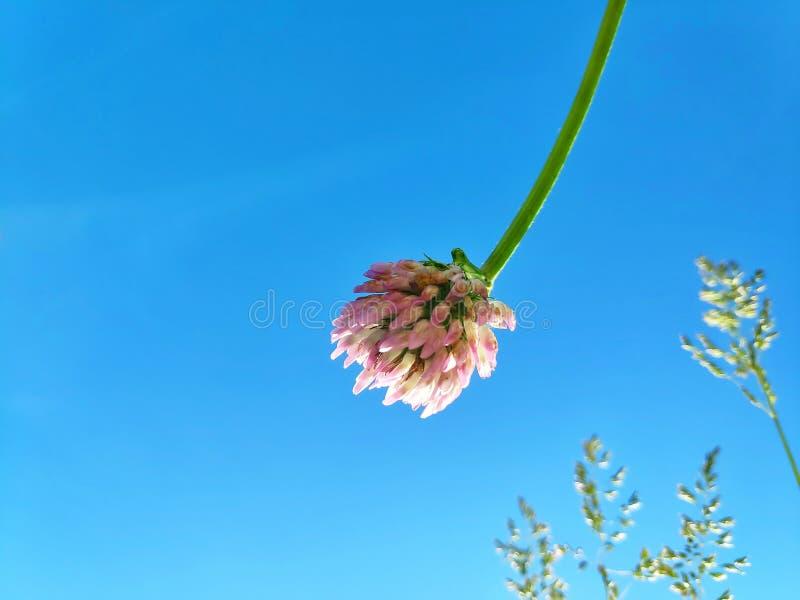 Växt av släktet Trifoliumblomma mot himlen royaltyfria bilder