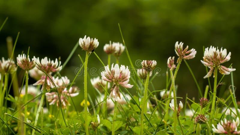 Växt av släktet Trifoliumfält royaltyfria foton