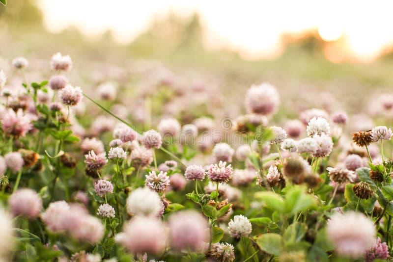 Växt av släktet Trifoliumfält arkivbilder