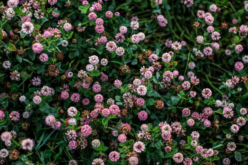 Växt av släktet Trifoliumfält arkivfoto