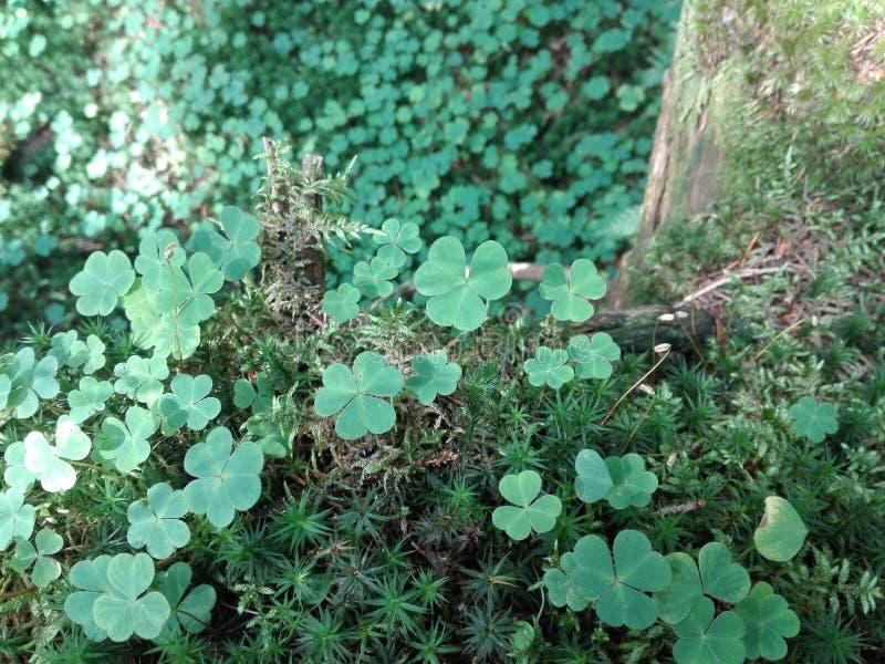 Växt av släktet Trifoliumräkning arkivbild