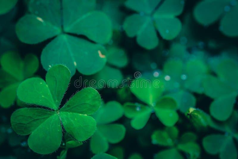 Växt av släktet Trifoliumsidor för grön bakgrund royaltyfria bilder