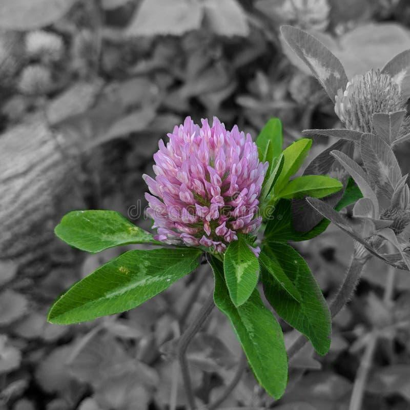Växt av släktet Trifoliumuppsättning i grå färger royaltyfri fotografi