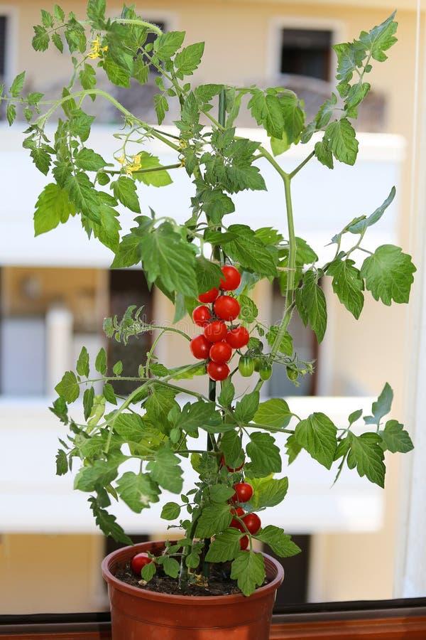 Växt av tomater i balkongen av ett hus arkivfoton