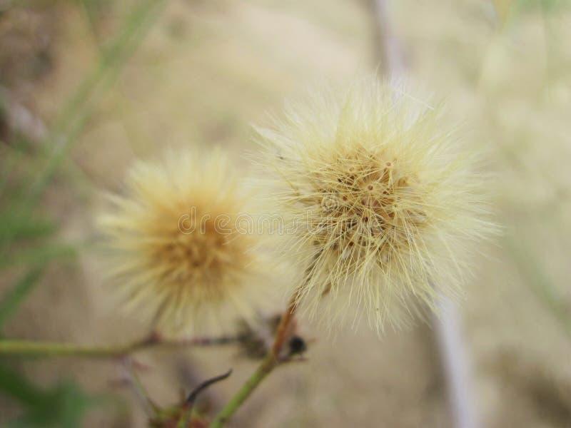 Växt - brunt ludd i dyn, Litauen royaltyfri fotografi