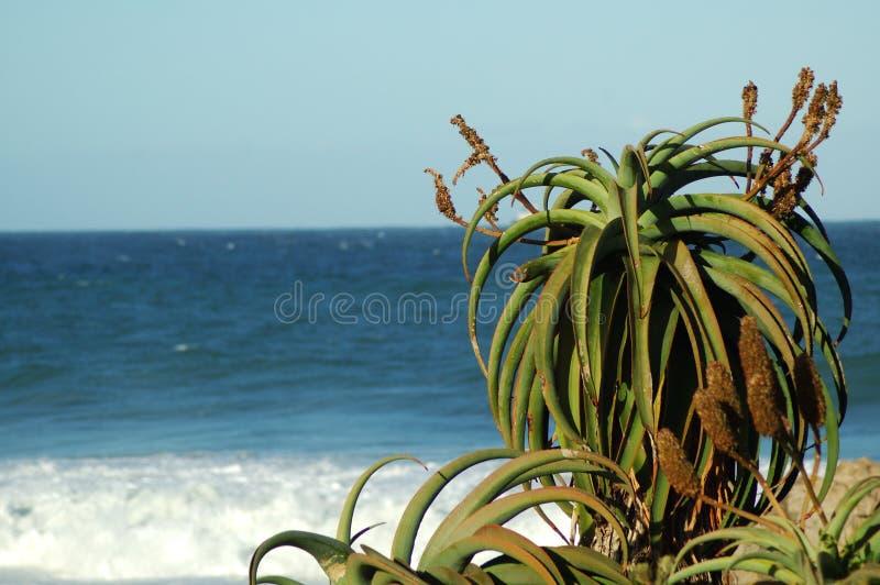 Download Växt för aloe 4 arkivfoto. Bild av ört, gott, strömförande - 237796