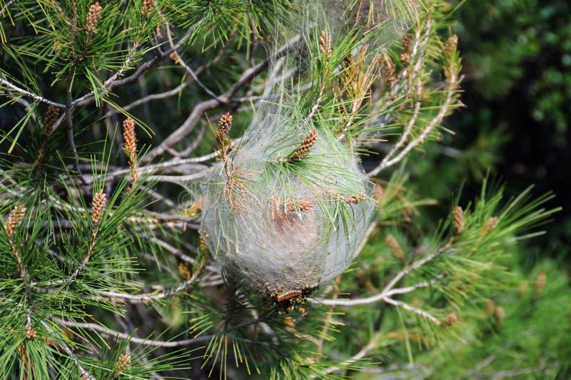 växt för bagwormcoccoonsjukdom royaltyfri foto