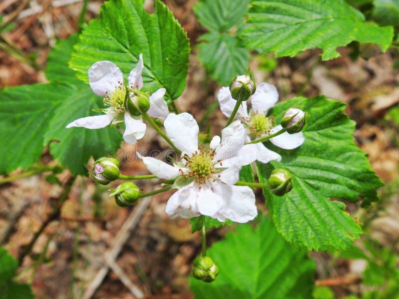 Växt för blomninghallon royaltyfri bild