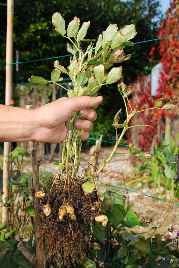 växt för bondeholdingjordnöt arkivfoto