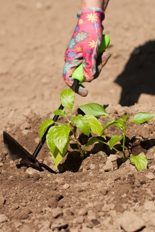 Växt för bondeLoosen Ground Around grönsak på trädgård royaltyfri fotografi