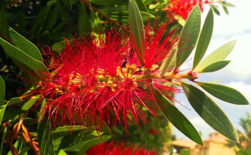 Växt för borste för afrikanBistle flaska röd royaltyfri fotografi