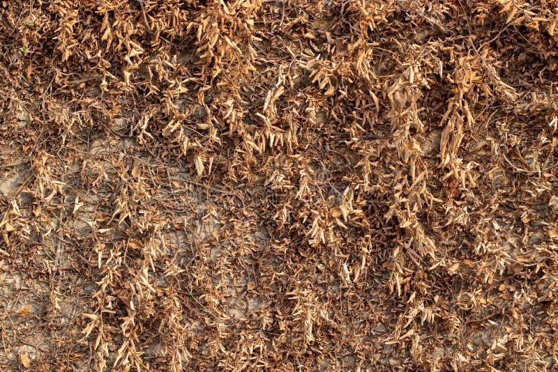 Växt för brun ranka på den vita väggen royaltyfria bilder
