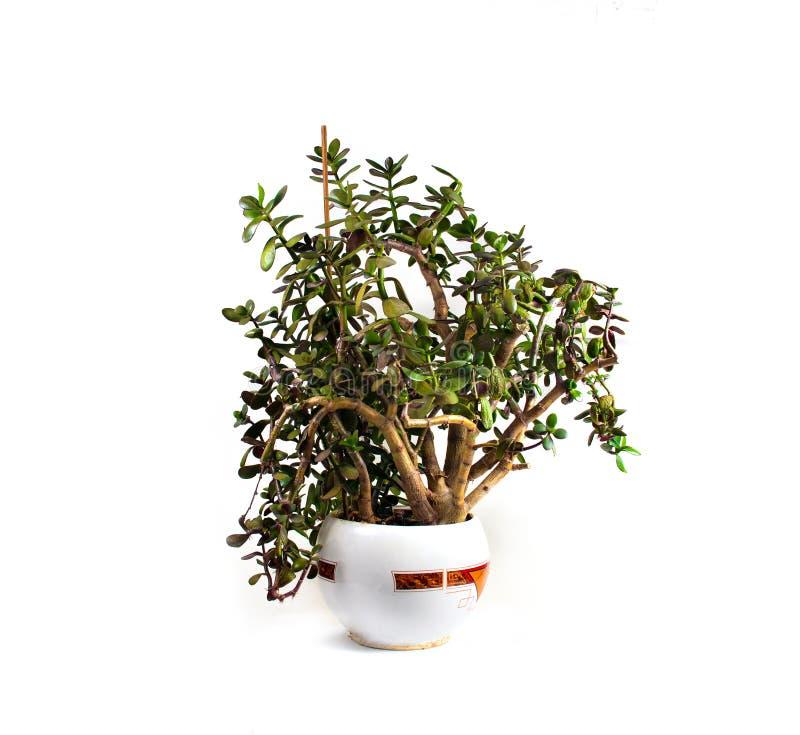 Växt för Crassulapengarträd i en kruka på en isolerad vit bakgrund arkivbild