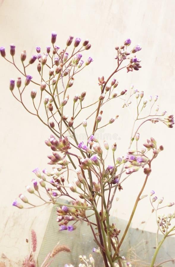 Växt för Cyanthillium cinereumblomma royaltyfri fotografi